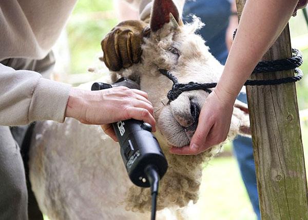 Стрижка овец машинкой