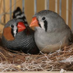 Птицы научились разучивать песни по специальной программе